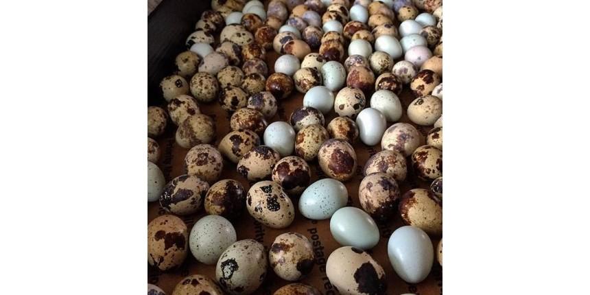 Упаковка для перепелиных яиц: виды, преимущества и недостатки